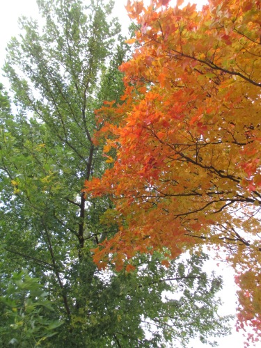 tree with orange leaves, trees changing colour